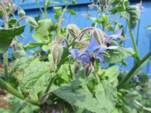Borage flowers were picked.