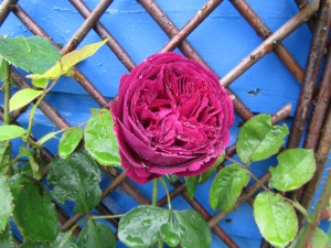 David Austin rose, Falstaff, against the shed.
