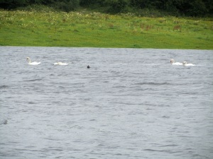 Wild Swans At Coole.