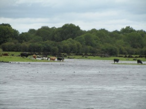 Cattle fording the lake at Coole.