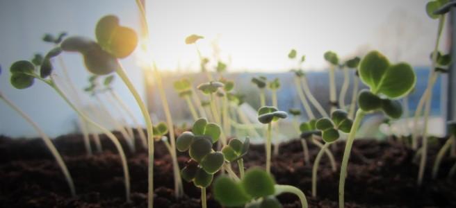 Spring. Shoots. seedlings. garden. gardening.