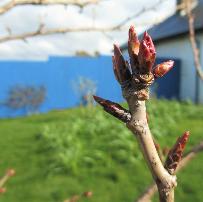 Cherry Blossom in bud.