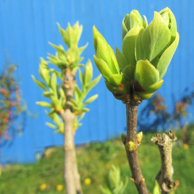 Lilac in bud.