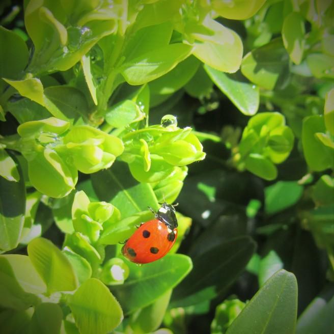 ladybird raindrop box plant