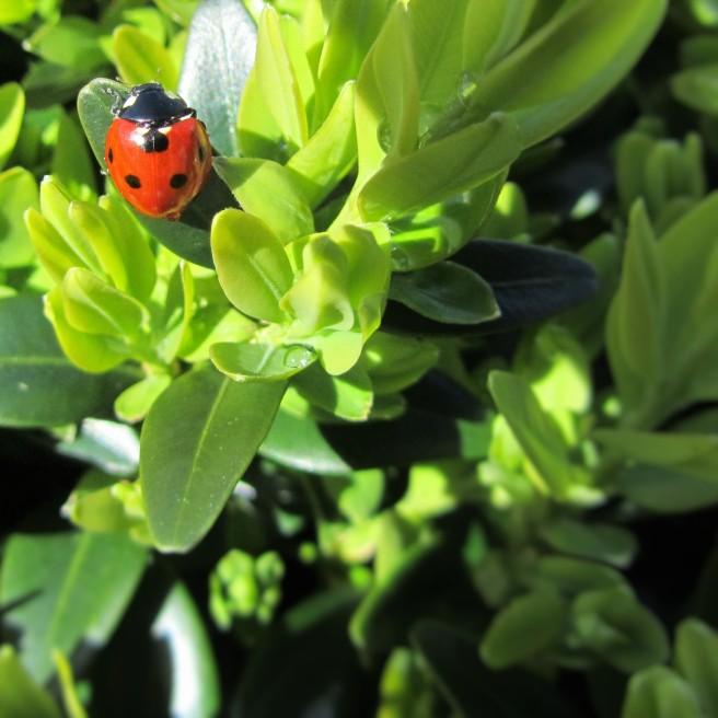 ladybird on box plant