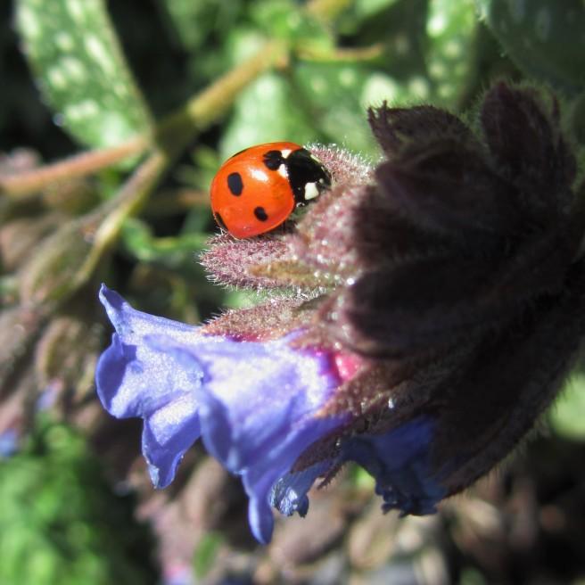 ladybird / ladybug on pulmonaria