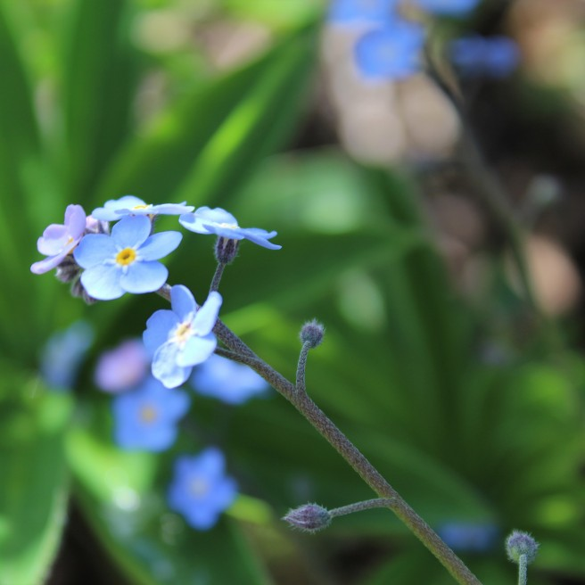 New camera, first shot, forget-me-not, canon 1200D