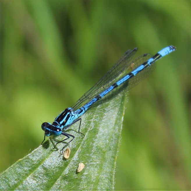 common blue damselfly. Irish dragonfly.