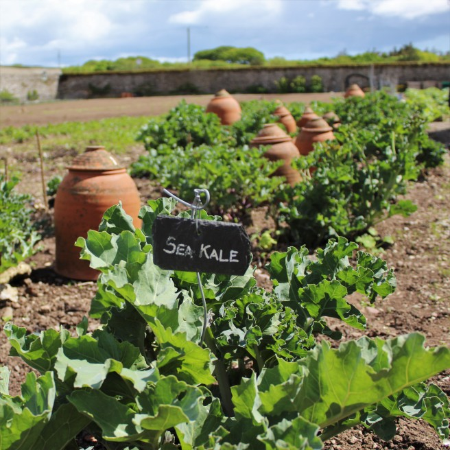 Sea Kale. Walled garden. Ballymaloe House.