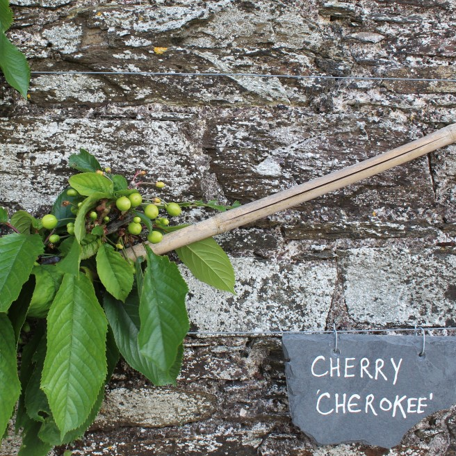 Cherry cherokee. walled garden. Ballymaloe House.