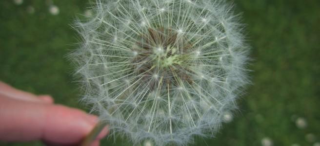 dandelion seed head. clock, parenting, gardening,