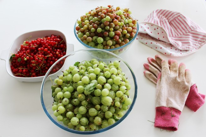 Garden produce. Gooseberries and redcurrants.