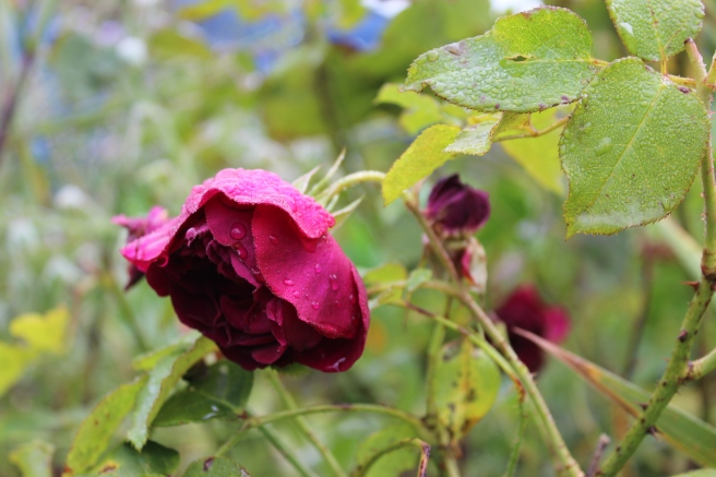 depression. A sodden rose symbolising middle age exhaustion.