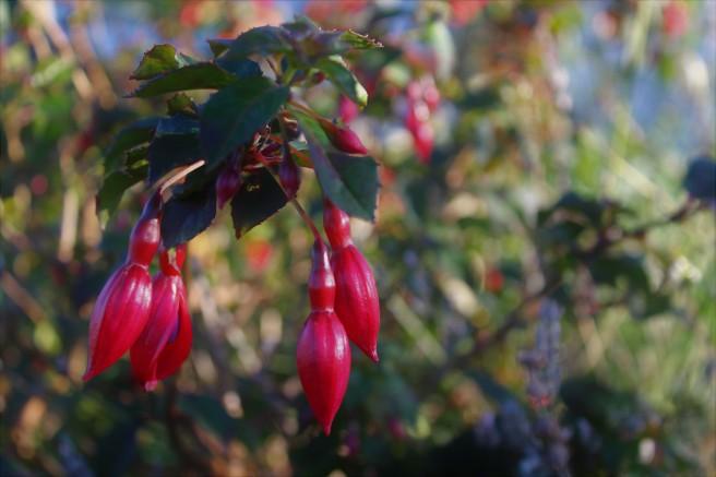 Fuchsia. A bundle of shy beauties.