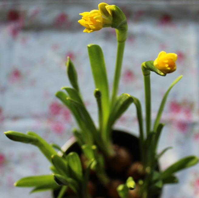 Tete a tete narcissus, table-top daffodils.
