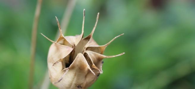 Nigella seed head. Irish garden.