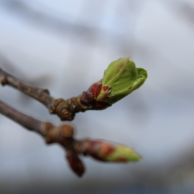 apple tree shoots
