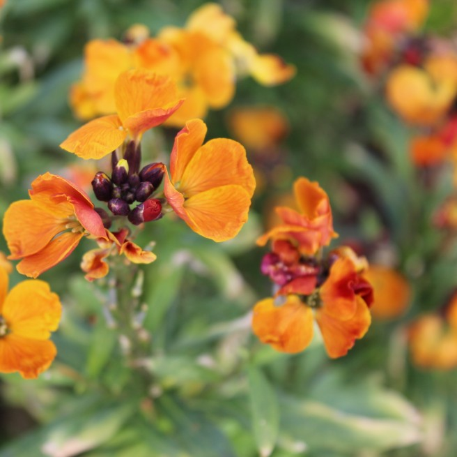 perennial wallflowers in febuary, cork, Ireland