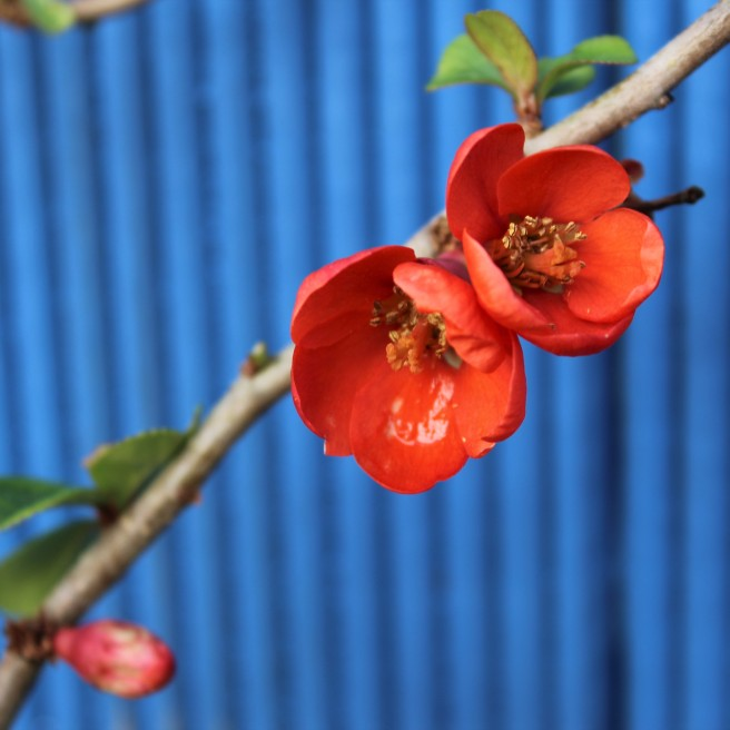 Japanese quince blossom.
