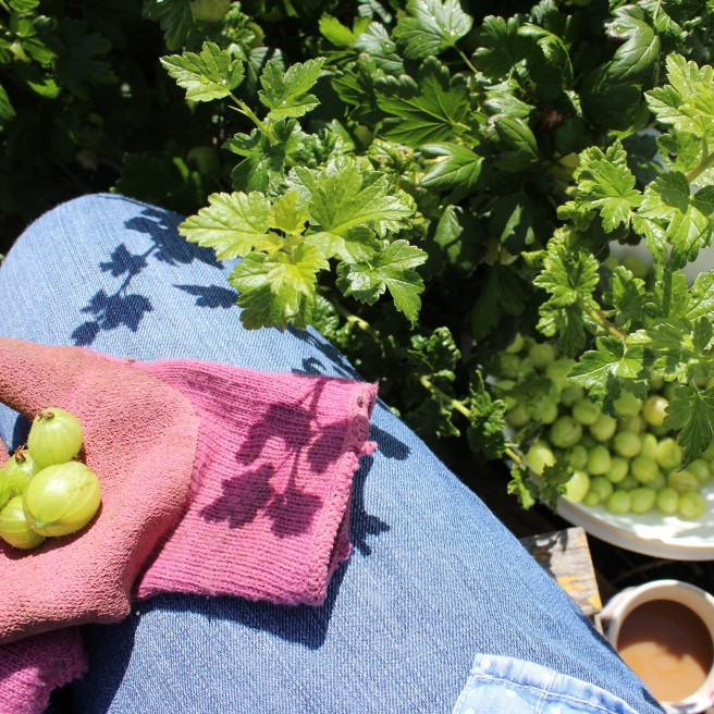 Picking gooseberries.